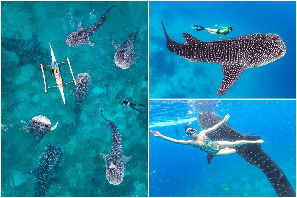 ジンベイザメとシュノーケリング! 遭遇率は99%、世界最大魚類と泳ごう