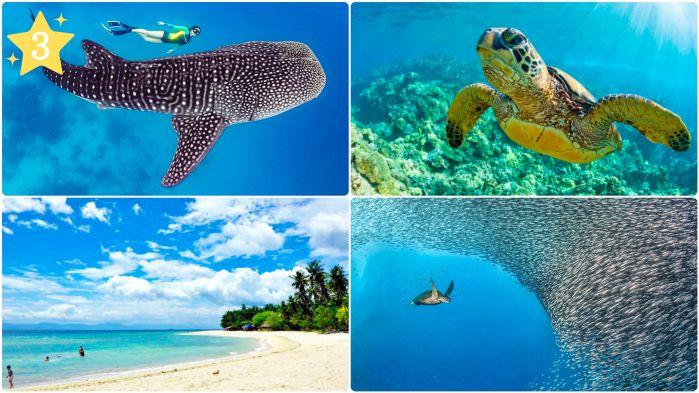 ジンベイザメ・ウミガメと泳ぐ +モアルボアル&ホワイトビーチツアー
