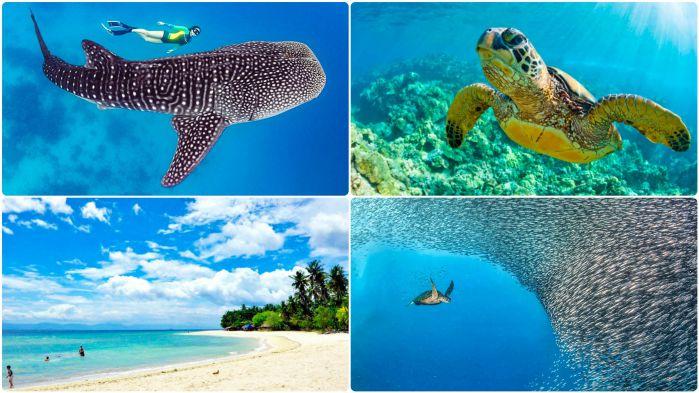 ジンベイザメ・ウミガメと泳ぐ+モアルボアル&ホワイトビーチツアー